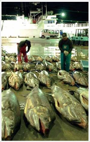 近海マグロはえ縄漁
